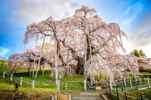Hoa anh đào có ý nghĩa như thế nào đối với người Nhật Bản? Giới thiệu ba loài hoa anh đào chính mà Nhật Bản tự hào_Sub 2.jpg